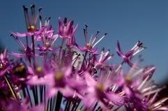 Ornamental Allium macro Royalty Free Stock Photos