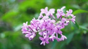 Purple, sering Royalty-vrije Stock Afbeeldingen