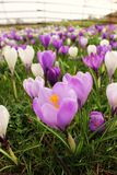 Purple Shades Stock Photography