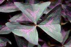 Purple Shamrock (Oxalis regnellii atropurpurea) Royalty Free Stock Image