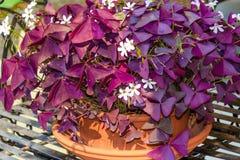 Purple Shamrock (Oxalis triangularis) Stock Images