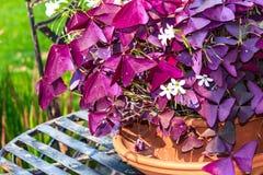 Purple Shamrock (Oxalis triangularis) Royalty Free Stock Photography