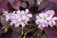 Purple Shamrocks blooming. Delicate Oxalis flowers close up. Deep purple leaves in the background stock photo