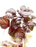 Purple shiso on a patch close up. Close up of purple shiso on a patch Stock Photo