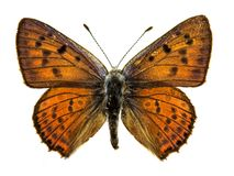 Free Purple-shot Copper Butterfly Royalty Free Stock Photography - 46518507