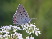 The purple-shot copper butterfly on beacked chervil flowers on green background. The purple-shot copper butterfly, Lycaena alciphron, feeds on flowers of a Royalty Free Stock Photography