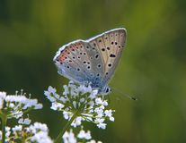 Purple-shot copper butterfly on the beacked chervil flowers on green background. The purple-shot copper butterfly, Lycaena alciphron, feeds on flowers of a Royalty Free Stock Photos