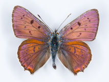 Purple-shot copper Lycaena alciphron butterfly on white Stock Photo