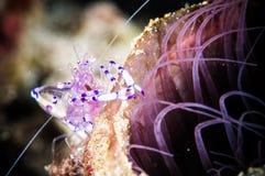 Purple shrimp bunaken sulawesi indonesia periclimenes holthuisi underwater Stock Photography