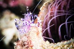 Purple shrimp bunaken sulawesi indonesia periclimenes holthuisi underwater Royalty Free Stock Images