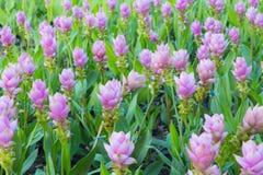 Purple Siam Tulip or Curcuma alismatifolia blossom Stock Photo