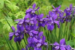 Purple Siberian iris blooms perch on tall stems after a spring shower. Purple Siberian iris blooms perch on tall stems after a spring rain shower. Verdant Stock Photography