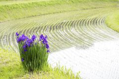 Flowers beside paddy field. Purple Siberian iris flower blooming beside paddy field Stock Photo