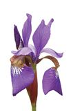 Purple Siberian Iris Sibirica Macro Closeup Royalty Free Stock Image