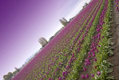 Purple Sky Tulips Royalty Free Stock Photography
