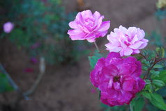 Purple small rose Stock Photography