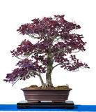 Purple smoke bush as bonsai tree Stock Images