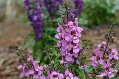 Purple snapdragon flowers Stock Image