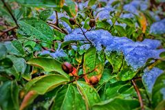 Purple Snow In Green Leaves royalty free stock images