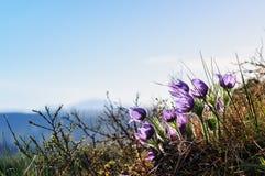 Purple snowdrops  in Altai Stock Photos