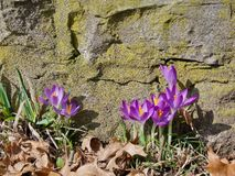 Purple snowdrops near stone. Purple snowdrops near big stone growing between withered leaves Stock Image