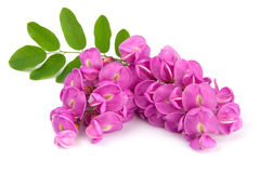 Purple sophora flower. Close up of purple sophora flower isolated on white background royalty free stock photos