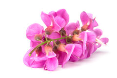 Purple sophora flower Stock Photo