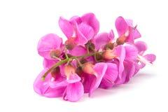 Purple sophora flower. Close up of purple sophora flower isolated on white background stock photo