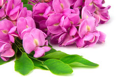Purple sophora flower Stock Image