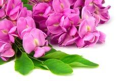Purple sophora flower. Close up of purple sophora flower isolated on white background stock image