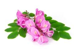 Purple sophora flower. Close up of purple sophora flower isolated on white background stock photos