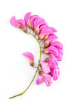 Purple sophora flower. Close up of purple sophora flower isolated on white background royalty free stock images