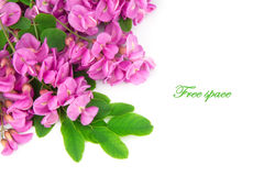 Purple sophora flower. Close up of purple sophora flower isolated on white background with sample text royalty free stock photography