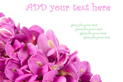 Purple sophora flower. Close up of purple sophora flower isolated on white background with sample text royalty free stock images