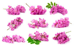 Purple sophora flower. Collection of purple sophora flower isolated on white background royalty free stock images