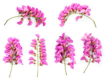 Purple sophora flower. Collection of purple sophora flower isolated on white background royalty free stock photo