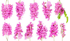 Purple sophora flower. Collection of purple sophora flower isolated on white background stock image