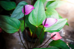 Purple Spadix Flower Stock Photography