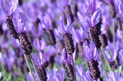 Purple Spanish Lavender Flower Royalty Free Stock Images
