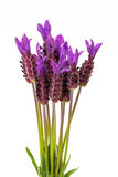Purple Spanish Lavender Flowers. On White Background Royalty Free Stock Photography