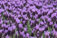 Purple Spanish Lavender Royalty Free Stock Images