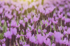 Purple Spanish Lavender Royalty Free Stock Photo
