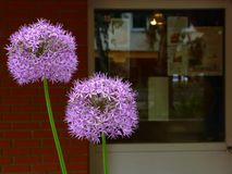 purple sphere shaped Allium flowering onion in foreground stock photo