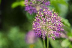 Purple spherical inflorescence of decorative onions on a blurred background of green leaves. Allium royalty free stock image