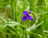Purple spiderwort lily flower and bud. A deep purple spiderwort lily flower Tradescantia ohiensis and buds with green leaves in a western Pennsylvania meadow royalty free stock images