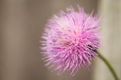 Purple spike weed flower Stock Images
