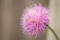 Purple spike weed flower. Pink purple flower bloom macro Stock Images