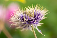 clematis flower on the green background royalty free stock photo