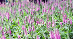 Purple Spiked Speedwell and Blurred Backyard Lush Green Grass Royalty Free Stock Photography
