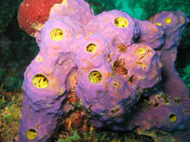 Purple Sponge with Yellow Osculum in Dominica Stock Image